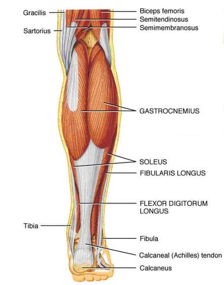 lower-leg-posterior